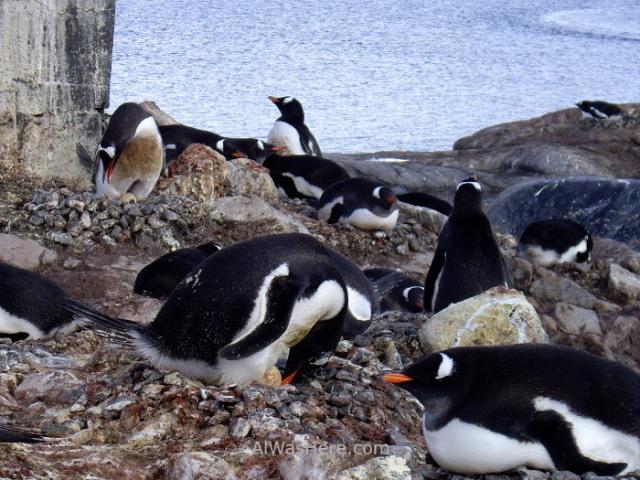 Antartida Port Lockroy Antarctica pingüinos gentoo penguins